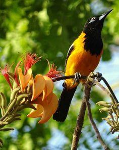 El #AveNacional de #Venezuela el pajaro #Turpial con un característico trinar se alimenta de frutas y pequeños insectos ...