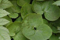 L'asaret du Canada (Asarum canadense), aussi appelé gingembre sauvage, est une plante indigène d'Amérique du Nord au feuillage velouté attei...