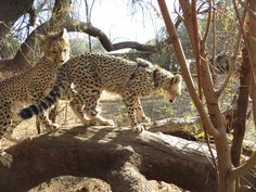 tree climbing as natural Conservation, Cheetah, Climbing, Cats, Natural, Animals, Gatos, Animales, Animaux