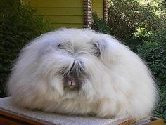 English Angora Rabbit. Just in time for Easter.