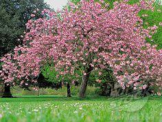 """""""Japanse sierkers: Prunus Serrulata"""". Deze boom zal voor een vrolijke sfeer zorgen, door zijn mooie roze blaadjes. Ook is deze boom veel te vinden in de buurt ten zuid-westen van het Royco-terrein. (Amber)"""
