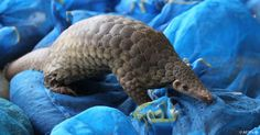 The pangolin is the world's most trafficked mammal. Help raise awareness on #WorldWildlifeDay. http://go.usa.gov/3xXWT