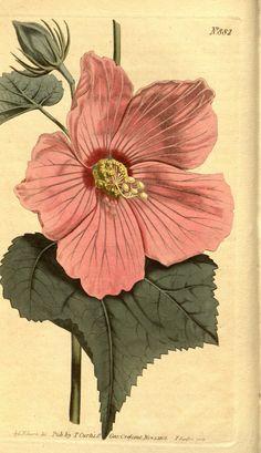 7948 Hibiscus moscheutos L. [as Hibiscus palustris L.] / Curtis's Botanical Magazine, vol. 882 [S. Botany Illustration, Illustration Botanique, Floral Illustrations, Vintage Botanical Prints, Botanical Drawings, Vintage Prints, Botanical Flowers, Botanical Art, Hibiscus