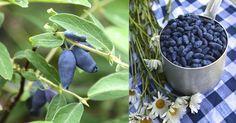 Det smakar friskare än blåbär, mognar före jordgubbarna och har blommor som tål en köldknäpp. Dessutom är blåtry ett superbär med massor av nyttiga antioxidanter.