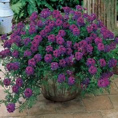Homestead Purple Verbena  Its low-growing, spreading form makes this verbena variety the perfect ground cover. Eye-catching purple flowers blanket the ground from spring until frost. Takes on a cascading habit when planted where it can-in containers, over walls or in raised beds. This top garden performer is heat and sun-tolerant.