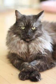 FL - Zoomer is an adoptable Maine Coon Cat in Tampa, FL Maine Coon Rescuecannot guarantee the parentage or breed of cats on this site.THE FOLL ... ...Read more about me on @Petfinder.com.com.com