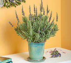 Lavender Goodwin Creek Grey in glazed pot white flower farm