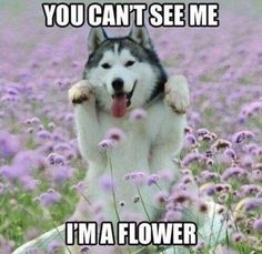 50 Hilarious (And Relatable) Dog Memes For National Dog Day - Funny Dog Quotes - Dogs may not be the smartest but they are certainly the cutest. The post 50 Hilarious (And Relatable) Dog Memes For National Dog Day appeared first on Gag Dad. Husky Humor, Husky Quotes, Funny Husky Meme, Dog Quotes Funny, Funny Animal Memes, Cute Funny Animals, Funny Dogs, Cute Dogs, Funny Memes
