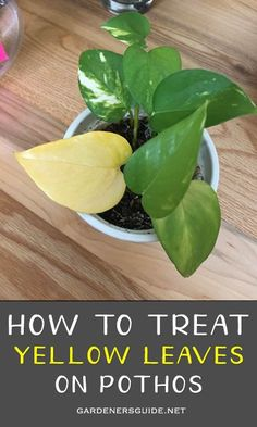 How to treat yellow leaves on Pothos? How to treat yellow leaves on Pothos? Ivy Plant Indoor, Indoor Flowering Plants, Yellow Leaves On Plants, Plant Leaves, Inside Plants, Ivy Plants, Jade Plants, Pothos Plant Care, Plant Cuttings