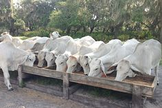 Bar Crescent D Ranch — Registered Brahman and Commercial Cattle in Ona, Florida