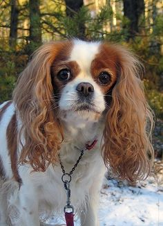 A photo of a 1 year old, Brown and White, Cavalier King Charles ...