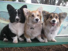 OCD: Obsessive Corgi Disorder, Fluffy power! the two on the right look like dr...