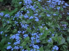 the electric blue of Brunnera 'Jack Frost' jolts me every spring! this guy loves the shade
