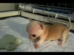 Crazy Teacup Chihuahua Puppies Skootchin and Feelin Good - YouTube