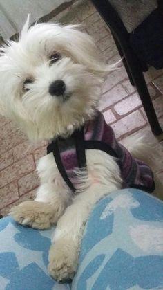 Maltés.  Maltese.  Dog.