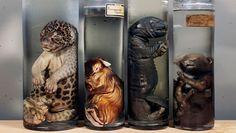 Museum Vrolik in het AMC, Amsterdam.  Foetussen van een jaguar, agouti, otter en panter (collectie Bolk & Vrolik).