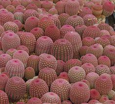 cactus, pink, and plants Succulent Gardening, Cacti And Succulents, Planting Succulents, Planting Flowers, Succulent Terrarium, Indoor Gardening, Cactus E Suculentas, Cactus Planta, Agaves