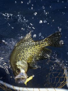 The BEST fish to catch: The Crappie