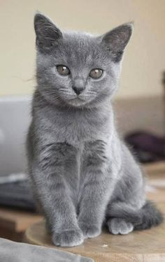 [Russian Blue Kitten