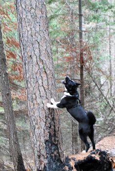 Karelian Bear Dog treeing a bear.