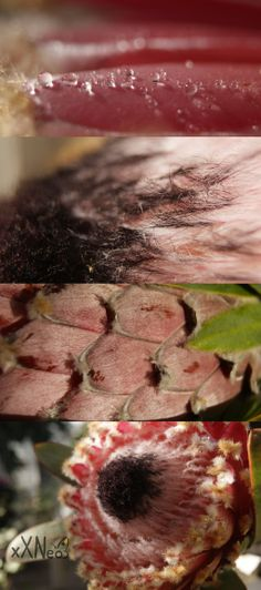 protea barbigera by xXNeo on DeviantArt Asparagus, Deviantart, Vegetables, Awesome, Nature, Flowers, Food, Studs, Naturaleza