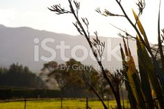 Rural New Zealand by Dusk royalty-free stock photo Earth Color, Native Plants, Image Now, Dusk, New Zealand, Flora, Royalty Free Stock Photos, Nature, Photography