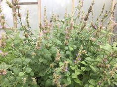 Agastache pallidiflora (Mountain giant hyssop) | NPIN Seed Bank, Plant Images, Fall Plants, Plant Sale, Native Plants, Conservation, Gardening Tips, Wild Flowers, Planting Flowers