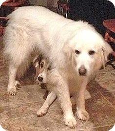 8/3/14 Beacon, NY - Great Pyrenees. Meet Avi in MA - new!, a dog for adoption. http://www.adoptapet.com/pet/11295619-beacon-new-york-great-pyrenees