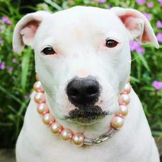 Jumbo Chunky Soft Pink Pearl Dog Collar,Cat collar, Buckle Collars, Martingale Collars, Dog Pearls UNBREAKABLE GUARANTEE! by BeadieBabiez on Etsy https://www.etsy.com/listing/215956447/jumbo-chunky-soft-pink-pearl-dog