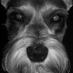 The Beautiful face of a mini schnauzer, how can you not love this face