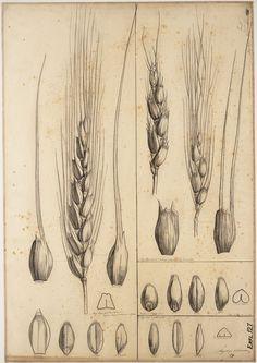 wheat botanical drawing - Google 검색