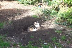 Be prepared to have a desert instead of a garden if you adopt a young husky (Smokey okt.2009) #dog #damage