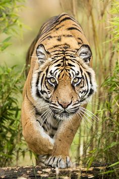 Amur Tiger by Colin Langford on Fivehundredpx