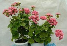 """Swanland Pink-Australien Pink Rosebud """".....Посадила одновременно два кустика Swanland Pink-Australien Pink Rosebud в одинаковые по объему горшка, но разные по форме - обычной пропорции и плоский. Обрезала одинаково. И вот результат - Я думаю, форма горшка имеет некоторое влияние на форму куста...."""""""