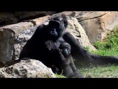 El gorila Ebo celebra su 8º cumple-mes con los niños de Expedición África, la escuela de vacaciones de Bioparc Valencia. Más información: www.bioparcvalencia.es