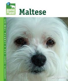 i just love Maltese they have the sweetest little faces!