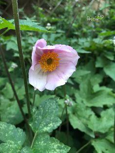 Sie ist eine sehr schöne und ausdauernd blühende Pflanze. Die verblühten Blüten sehen ebenfalls dekorativ aus. Hat man sie einmal im Garten, verwildert sie sehr gern. Plants, Nice Asses, Plant, Planets