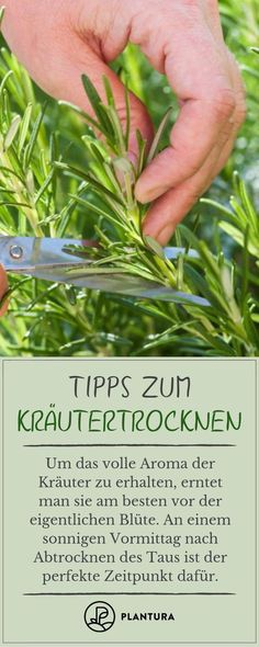 Kräuter trocknen, einlagern & Co.: 8 Tipps zum Konservieren Tips for drying herbs: Harvest time.Herbs can be easily preserved without losing their great aroma. We have tips to preserve your herbs! You can find more on Plantura. Marigolds In Garden, Hydrangea Garden, Herbs Garden, Fall Lawn Care, Lawn Care Tips, Garden Care, Perenial Garden, Conservation, Garden Sprinklers