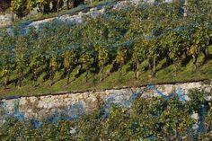 Vineyard, Outdoor, Wine Vineyards, Switzerland, Places, Outdoors, Vine Yard, Vineyard Vines, Outdoor Games