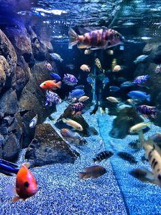 Most Beautiful Freshwater Tanks ( 2019 ) Seahorse Aquarium, Cichlid Aquarium, Cichlid Fish, Aquarium Fish Tank, Fish Tanks, Discus Fish, Tropical Freshwater Fish, Freshwater Aquarium, Tropical Fish