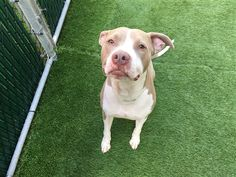 GONE, be at peace...  3/28/18 Smokey The Bear is at-risk of euthanasia and needs placement. Please consider opening your home today! Hello, my animal id is #19855. I am a desexed male tan dog at the Manhattan Animal Care Center. The shelter thinks I am about 4 years old. I came into the shelter as a returns on 15-Mar-2018, with the surrender reason stated as person circumstance- moving - no pets allowed. This pet needs a new hope rescue to help you adopt.