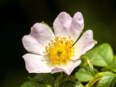 Find images of Wild Rose. ✓ Free for commercial use ✓ No attribution required ✓ High quality images. Flower Blossom, Blooming Rose, Blue Roses, Color Tattoo, High Quality Images, Find Image, Flowers, Plants, Painting