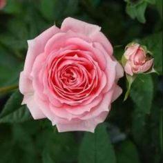 Rose de Damas histoire et Mythologie