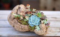 Learn How to Plant Succulents on Driftwood Without Using Soil - Garden Lovers Club Succulent Centerpieces, Succulent Wreath, Succulent Arrangements, Planting Succulents, Planting Flowers, Succulent Ideas, Succulent Containers, Driftwood Planters, Driftwood Projects