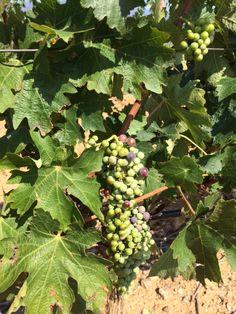 En envero de la uva en Finca Malaveïna.  // Verolat del raïm a Finca Malaveïna //  Grapes change their colour in Finca Malaveïna. Fruit, Growing Up