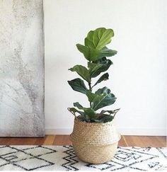Natural Sea Grass Belly Basket storage basket as well as planters baskets Plant Basket, Basket Planters, Ikea Basket, Belly Basket, Fiddle Leaf Fig Tree, Decoration Plante, Deco Floral, Plant Nursery, Plant Decor