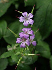 Geranium nodosum - Bergwald-Storchschnabel. Gut für Schattn. Sät sich allerdings aus...?