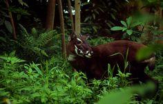 Das Saola kennt vielleicht nicht jeder, doch es ist eine Sensation, eines der mysteriösesten Tiere überhaupt. Es wurde erst 1992 in den Annamitenbergen Vietnams von WWF-Mitarbeitern und Regierungsexperten wissenschaftlich entdeckt, als sie im Haus eines Jägers einen Schädel mit ungewöhnlich graziösen Hörnern fanden. Dies war eine der spektakulärsten zoologischen Entdeckungen des 20. Jahrhunderts, zum ersten Mal nach 50 Jahren wurde wieder eine mittelgroße Säugetierart gefunden. Erst vier…