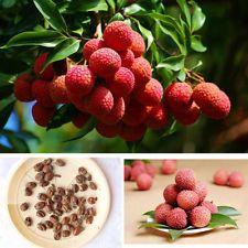 10x Sweet Lychee Subtropical Fruit Leechee Seeds Garden Plot Planting GUS