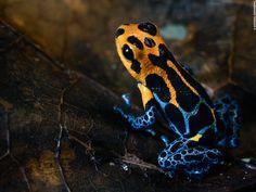 About 600 #amphibian species inhabit #Peru, of which over 150 are #frogs with different and #surprising shapes and colors. Would you dare to seek them in the middle of the #Peruvian #rainforest? // Alrededor de 600 especies de #anfibios habitan en el #Perú. De estos, más de 150 son #ranas que cuentan con diferentes y sorprendentes formas y colores. ¿Te atreves a buscarlas en la mitad de la #selva #peruana?